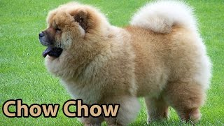 The Right Companion: Chow Chow