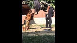 German Shepherd tricks by Hargo z Henmonu