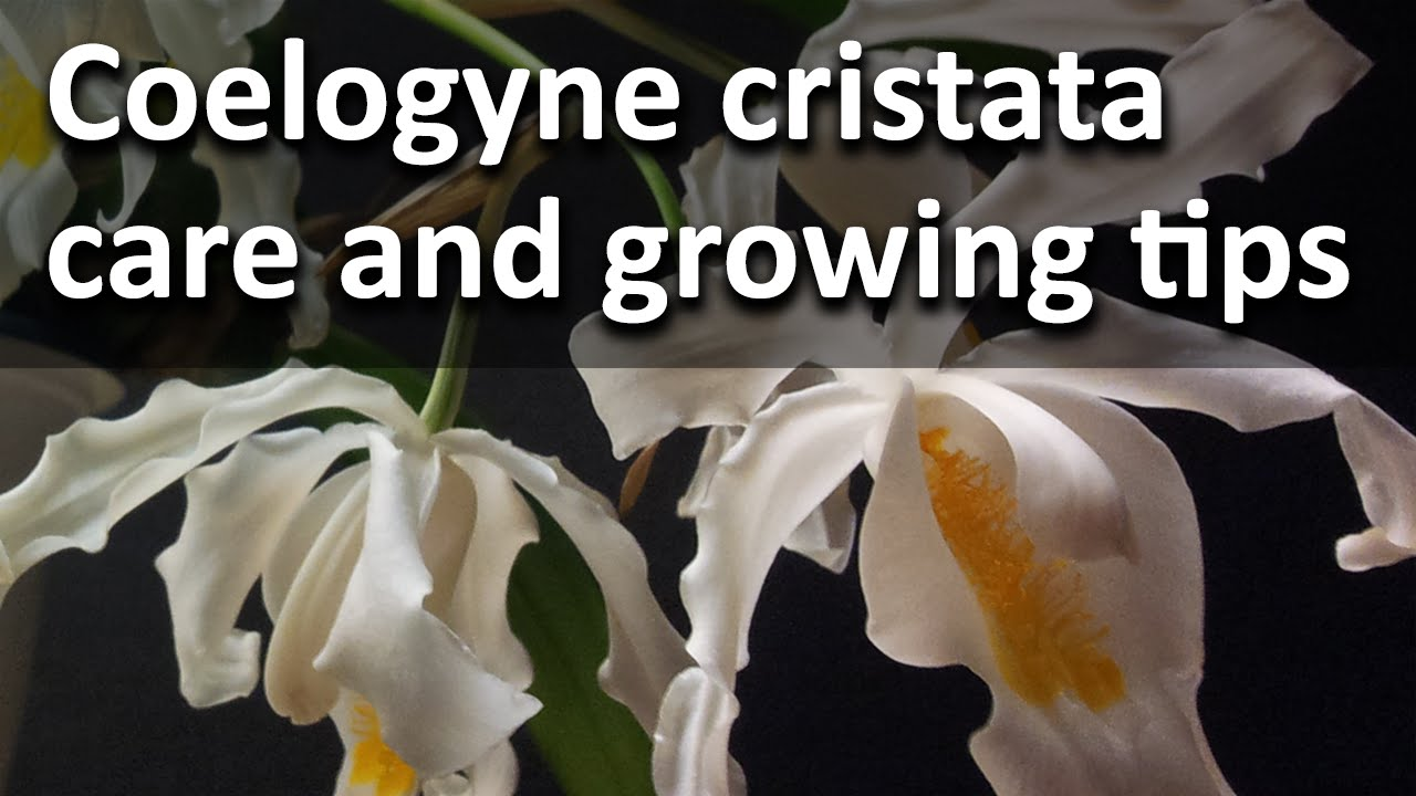 Coelogyne Cristata Coelogyne Cristata Care And