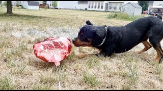 Funny things about my Rottweiler Bruno   |10
