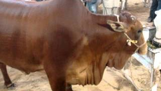 Red Sahiwal Cow (Sind Dairy)