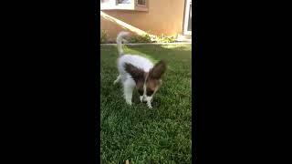 Papillon dog (funny) sings Christmas song🤭 (lol moment)