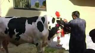 cow ki qurbani sai#03326676968.2012.avi