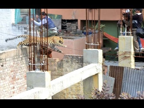 CCTV captures leopard moving in market - Meerut