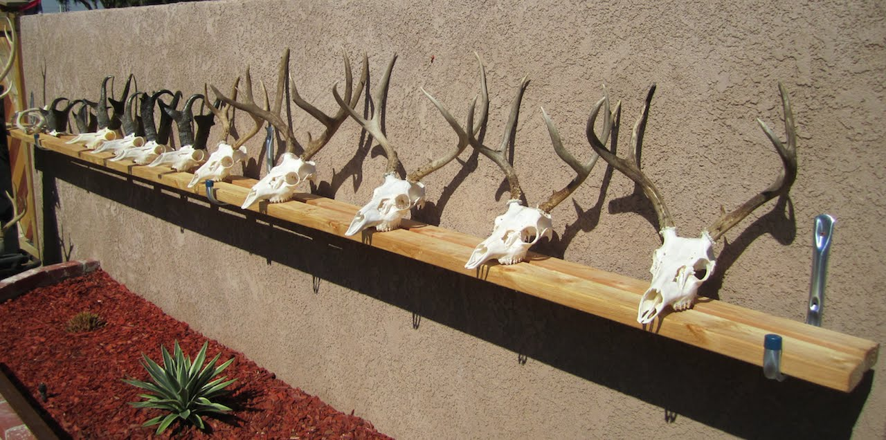 How To Clean A Deer And Antelope Skull Youtube