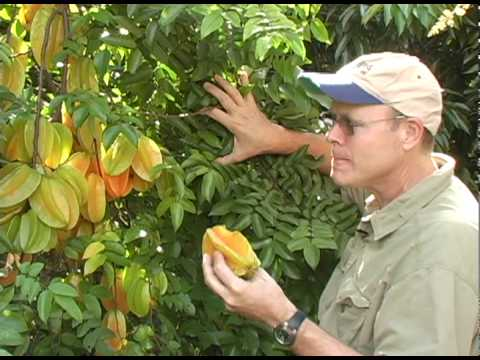 A02 'Arkin' carambola winter fruit crop, Part 2