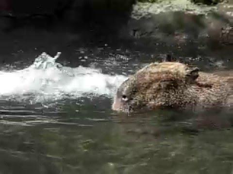 温泉に浸かるカピバラたち2 Capybara