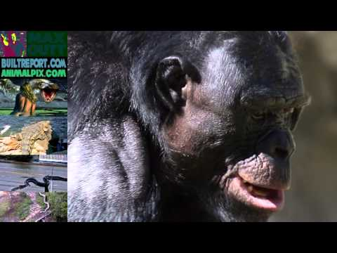 Human Sized Chimp