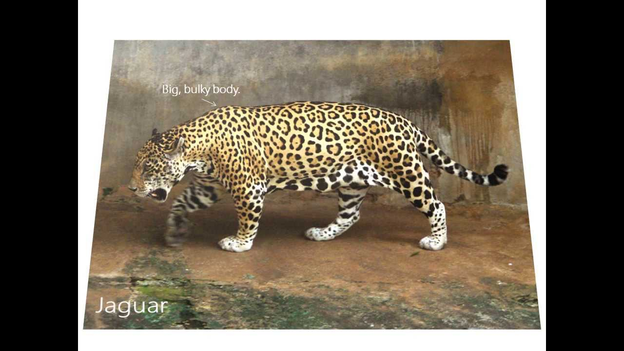 differences between jaguars leopards and cheetahs youtube. Black Bedroom Furniture Sets. Home Design Ideas