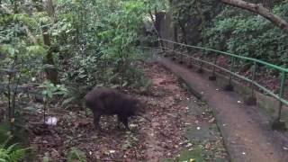 Five cute baby wild boars cross trail under the watchful eye of their mother