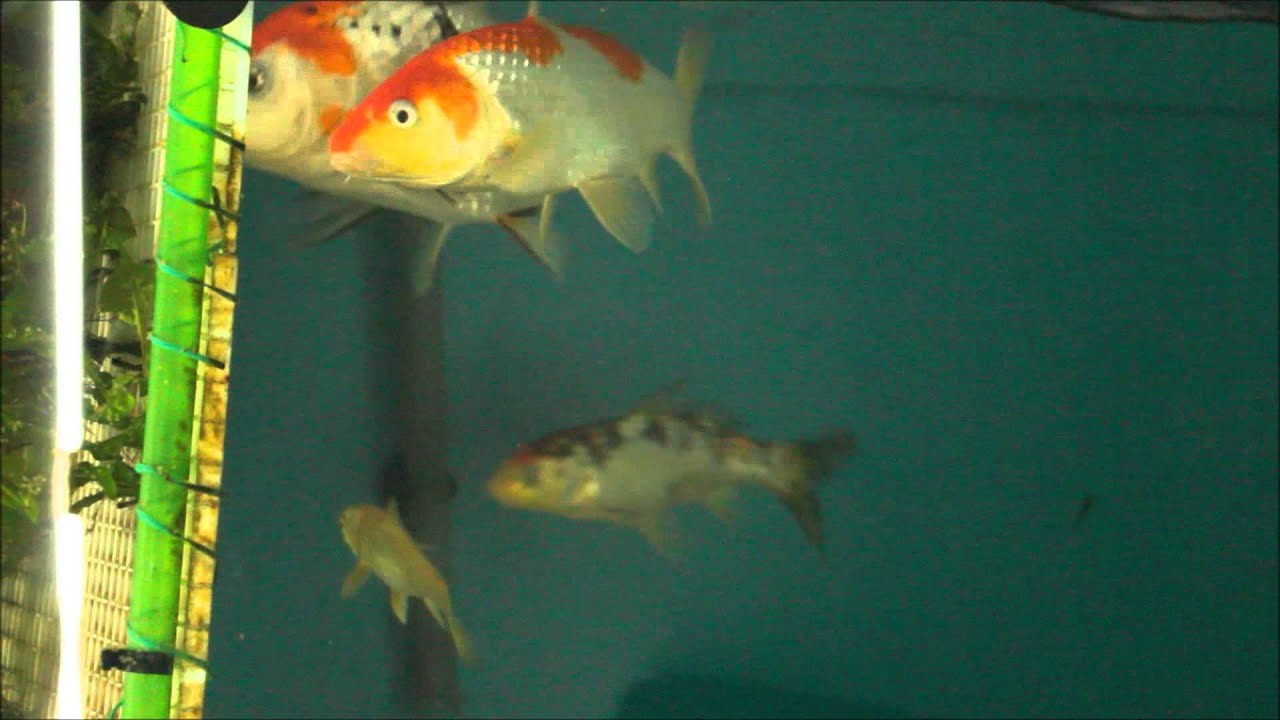Koi spawning eggs in fish tank youtube for Koi fish tank