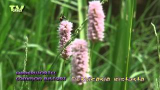 Adderwortel - Common Bistort - Bistorta officinalis - Persicaria bistorta