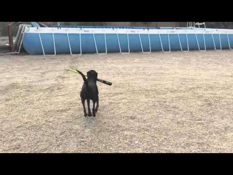 Teaching a dog to hit a ball with a regulation baseball bat.
