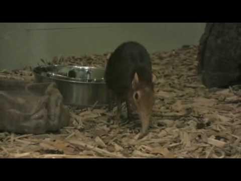 Live Elephant Shrews at the Peabody Museum
