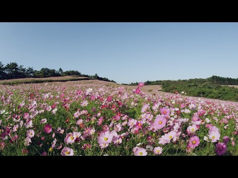 [ 4K Ultra HD ] 内山牧場 大コスモス園 Cosmos field at Uchiyama farm ( Shot on RED EPIC )