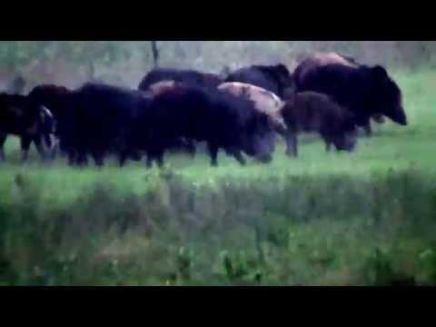 Hog hunt with fully suppressed .300 blackout