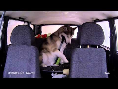 Аляскинский маламут в машине  Alaskan malamute in the car