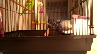 Bad Parakeet Spits Food Out & Flips Container