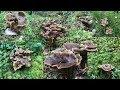 20 11 2018 EP 39 เก บเห ดในป าฟ นแลนด แวะเข าป าแป บเด ยวอดใจไม ไหวต องมา Mushrooms mp3