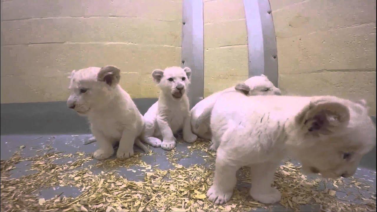 Ritka fehér oroszlánkölykök születtek egy állatkertben - videó