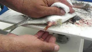 Wonderful Man Help Dead Fish Giving Birth To 50 Babies On The Boat