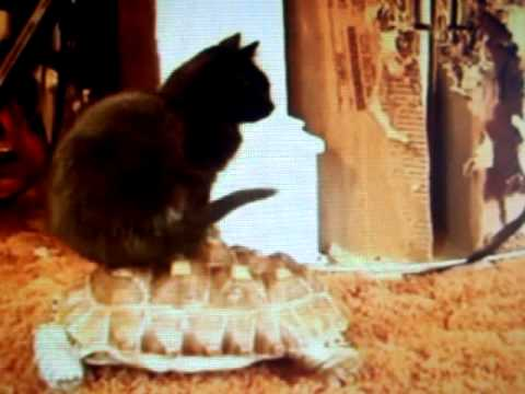 kitten rides the tortoise - very funny