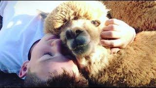 Kid Convinces Parents To Rescue Alpaca | The Dodo