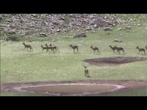 Cervi al Parco nazionale d'Abruzzo - Deer National Park of Abruzzo.