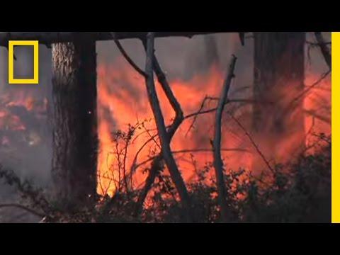 Giant Sequoias Need Fire