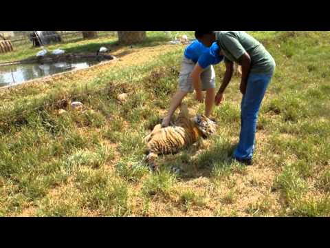 Attacked by a baby tiger!