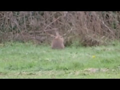Rabbit Hunting Febuary 2014 With a cz 452  22lr Rifle