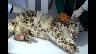 Seriously injured snow leopard gets urgent surgery