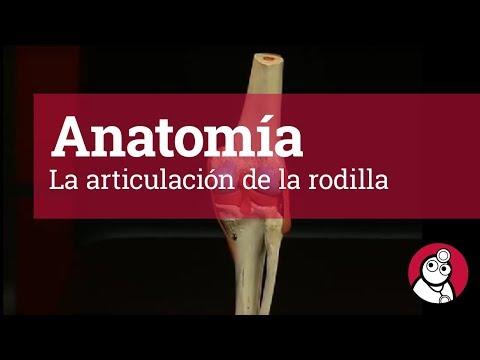 La articulación de la rodilla