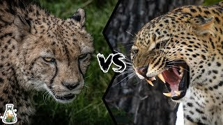 CHEETAH VS LEOPARD - Who Would Win?