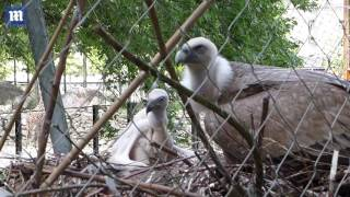 Two gay vultures successfully hatch an egg in Amsterdam