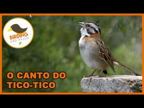 Canto Do Tico-tico (zonotrichia Capensis) video