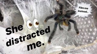 "This male TARANTULA has been ""SLEEPING"" with the FEMALE for almost a year.. AND STILL NOTHING !!!"