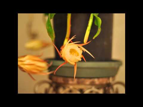 Nightblooming cereus time lapse