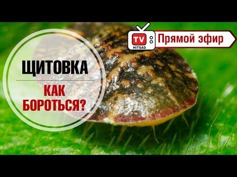Вредители комнатных растений 🐜 Щитовка  🐜 Как бороться? 🐜 Купон на скидку от hitsad.ru