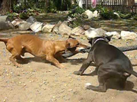 pitbulls DEMENTES contra salchicha ESQUIZOFRENICO