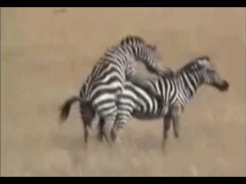 Zebra male trying to make little zebras...