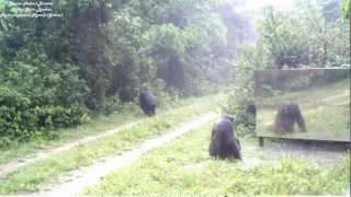 miroir en forêt (7) son apprentissage par les chimpanzés, seconde rencontre. Chimps VS mirrors (2)