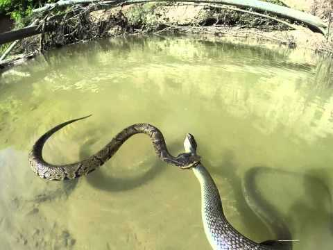 Banded Water Snake Care Banded Water Snake Quot Video