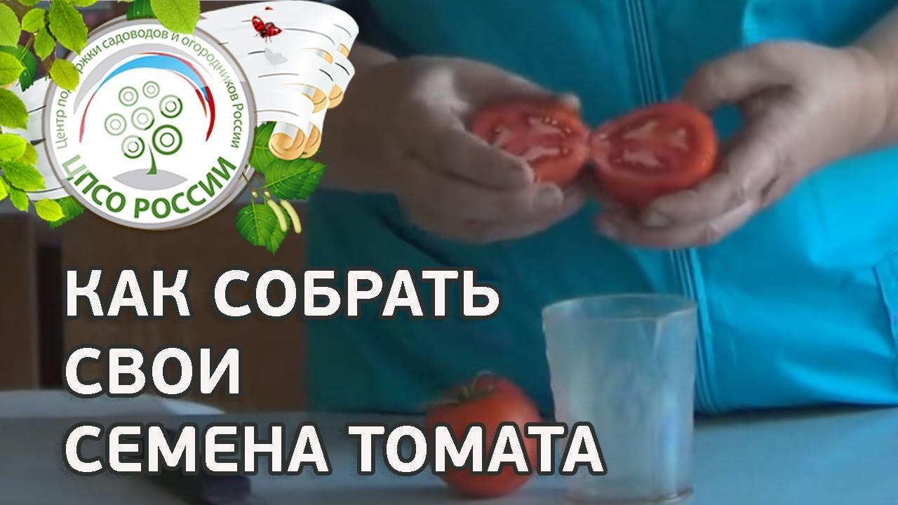 Как правильно собрать семена из помидор 33
