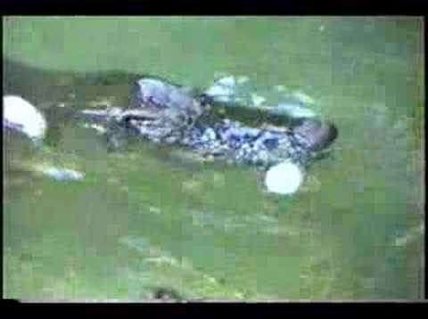 Crocodile mom releases baby from egg