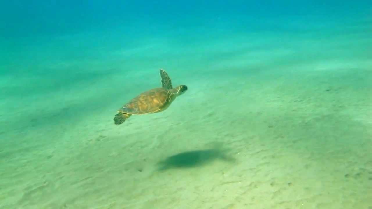 Cute baby green sea turtles