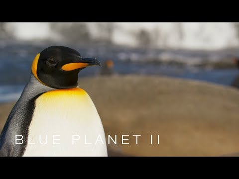 Penguins try not to wake the sleeping giants - Blue Planet II: Episode 6 - BBC One
