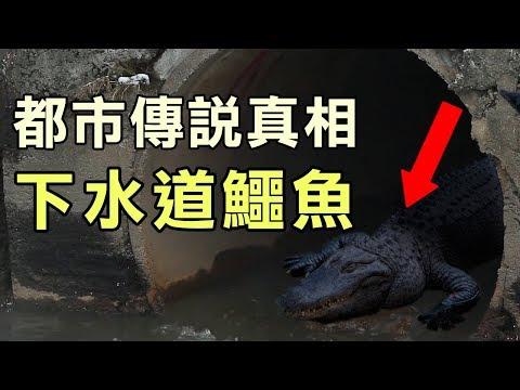 【都市傳說真相】地下水道鱷魚|PowPow