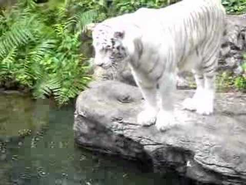 Tiger Attack Singapore Picture on Zoo Worker Dead Attacked By White Tiger In Zoo Mandai Singapore On 13
