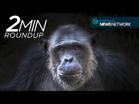 Drone-hating chimps, stranded whales & a cougar controversy